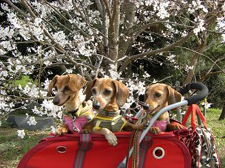 桜の下で3.JPG