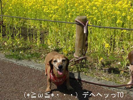 菜の花さんぽ5.JPG