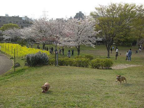 桜散歩2.JPG